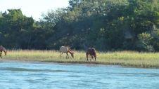 Wild Horses in Beaufort, NC